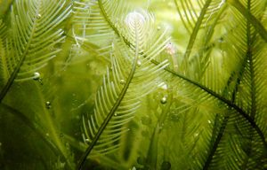 Benefici alghe sui capelli