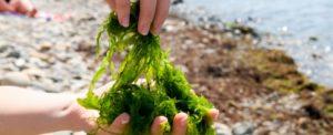 Estratto di alghe sui capelli - proprietà anticaduta e altri benefici